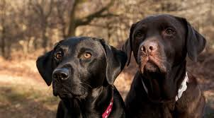 """How Do I Choose My Next Duck Hunting Dog? Part 3 """" The Blood: Size and Birdiness"""""""