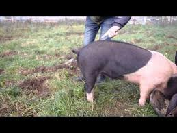 Straightening a Pig's Tail!