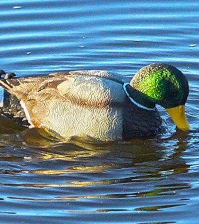 Mojo's New Rippler Duck Decoy