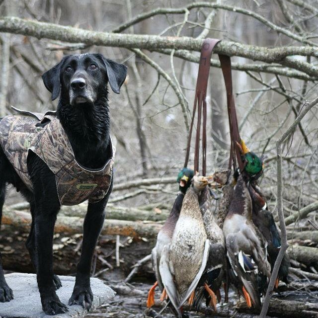 4 Corner Properties: On The X Podcast: Talking Waterfowl Bands, Cormorants, and End of Duck Season