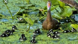 The Ducks of Late Spring and Summer